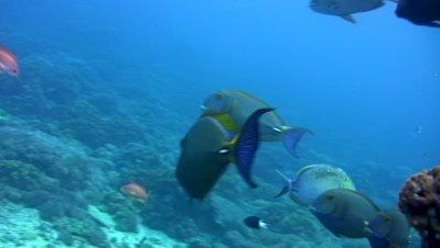 School of eyestripe surgeonfish (Acanthurus dussumieri)