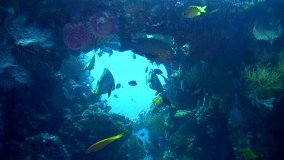 Shaded batfish (Platax pinnatus) on liberty wreck,Bali