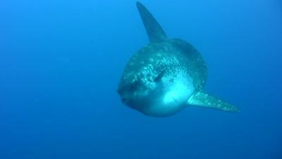 Oceanic sunfish (Mola mola) swimming towards camera and leaving +