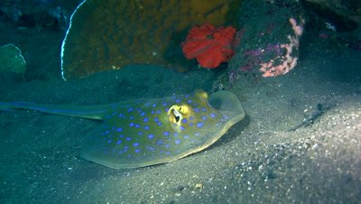 Blue-spotted fantail ray (Taeniura lymna)