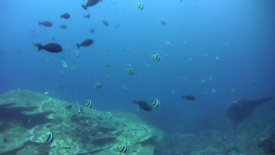 Oceanic sunfish (mola-mola) surrounded by school of longfin bannerfish