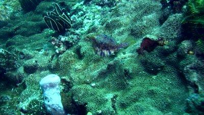Thorny-back cowfish (Lactoria fornasini)