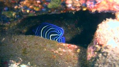 Semicircle angelfish (Pomacanthus semicirculatus) juvenile