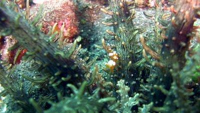 Squat anemone shrimp (Thor amboinensis) on Actinostephanus haeckeli