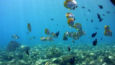 Coral Reef with Eye-patch butterflyfish (Chaetodon adiergastos) and snappers
