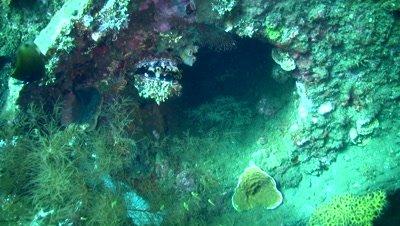 Thorny oyster (Spondylus varius) on USAT Liberty Wreck