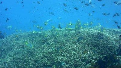 Oblique-banded or Diagonal-banded sweetlip (Plectorhinchus lineatus) hovering on top of acropora coral
