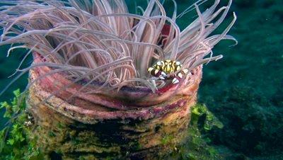Harlequin crab (Lissocarcinus orbicularis) in tube anemone
