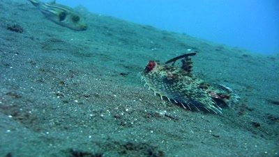 Helmut flying gurnard (Dactyloptena orientalis)