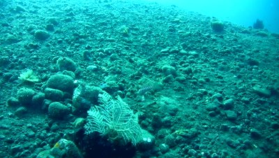 Spotted sandperch (Parapercis millepunctata) bitting each other