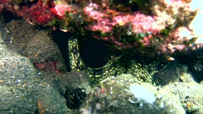 Clouded or Snowflake moray (Echidna nebulosa)