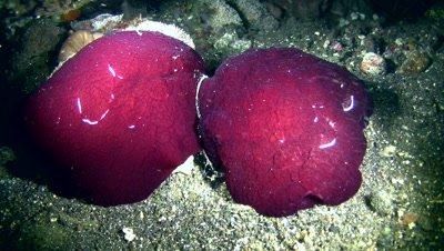 Pleurobranchus forskali mating