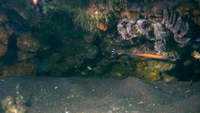 Janss'pipefish (Doryrhamphus janssi)