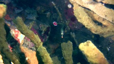 Ringed or Banded pipefish (Doryrhamphus dactyliophorus) carying eggs