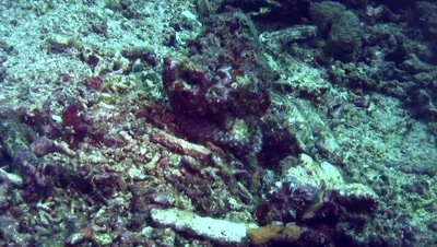 Devil or Humpback scorpionfish (Scorpaenopsis diabolus) crawling
