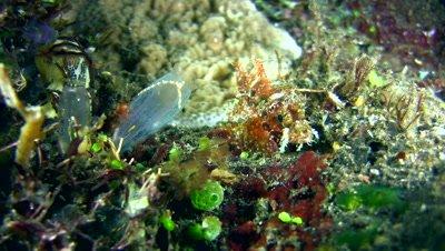 Raggy scorpionfish (Scorpaenopsis venosa),juvenile