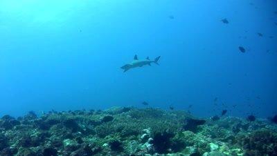 Whitetip reef shark (Triaenodon obesus) swimming close by