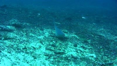 Whitetip reef shark (Triaenodon obesus) laying on the bottom and starting to swim