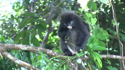 Dusky Leaf Monkey (Trachypithecus obscurus) eating leafs