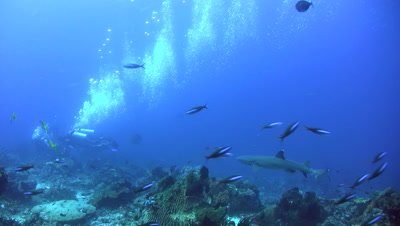 Whitetip reef shark (Triaenodon obesus) swimming over coral reef