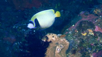 Emperor angelfish (Pomacanthus imperator) being cleaned by white banded cleaner shrimp