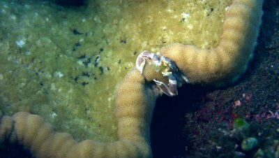 Spotted porcelain crab (Neopetrolisthes maculatus) catching food