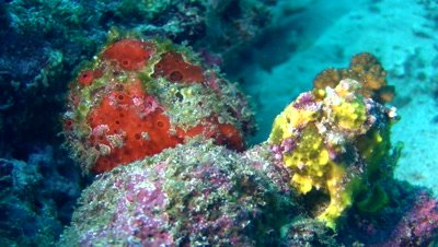 Painted frogfish (Antennarius pictus) with warty frogfish (Antennarius maculatus)