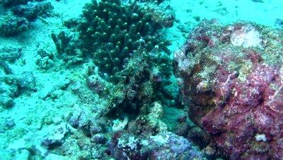 Warty frogfish (Antennarius maculatus) brown