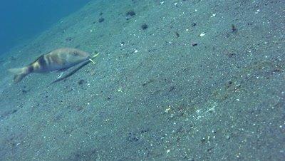 Banded or Manybar goatfish (Parupeneus multifasciatus)