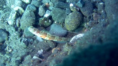 Brown-banded shrimpgoby (Amblyeleotris periophthalma) with alpheid shrimp