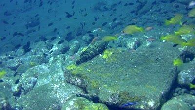 Palemargin grouper (Epinephelus bontoides)