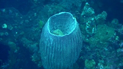 Brown-marbeled grouper (Epinephelus fuscoguttatus) inside barrel sponge