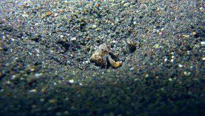 Tiny hermit crab
