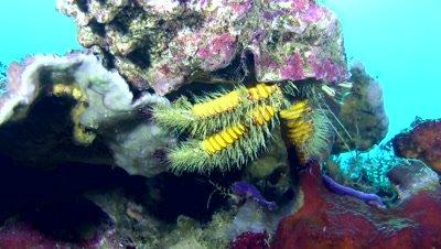 Giant hermit crab (Aniculus maximus)