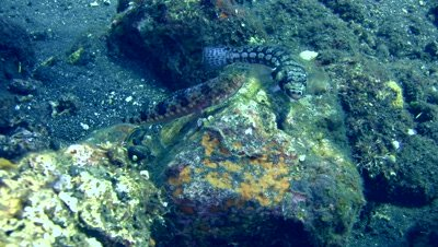Variegated or Reef lizardfish (Synodus variegatus) with Spotted or Black-dotted sandperch (Parapercis millepunctata)