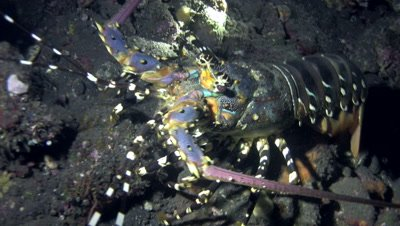 Massive ornate spiny lobster (Panulirus ornatus)