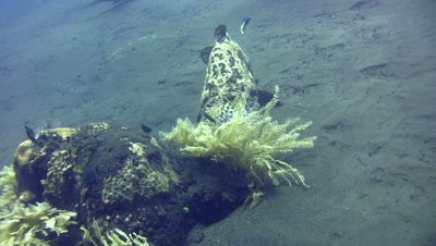 Brown-marbeled grouper (Epinephelus fuscoguttatus) eating porcupinefish