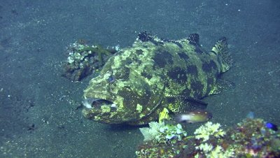 Brown-marbeled grouper (Epinephelus fuscoguttatus) opening mouth