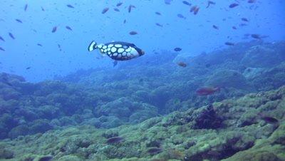 Clown triggerfish (Balistoides conspicillum) and black spotted pufferfish