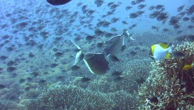 Humpback unicornfish (Naso brachycentron) with cloud of damselfishes
