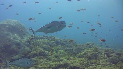 Humpnose unicornfish (Naso tuberosus)