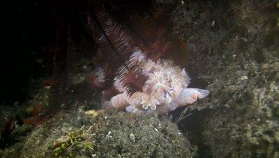 Spanish dancer (Hexabranchus sanguineus) under feather star