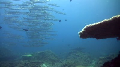 Bigeye or blackspot barracuda (Sphyraena forsteri),group on top of coral