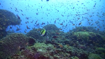 Hard and soft coral reef with clouds of fishes and bigeye or blackspot barracuda (Sphyraena forsteri) on the background