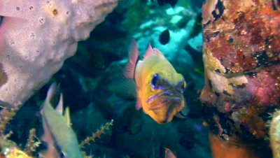 Ringtail cardinalfish (Apogon aureus) with eggs in its mouth