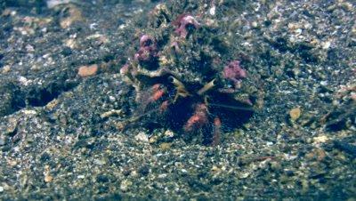 Hairy-red hermit crab (Dardanus lagopodes)