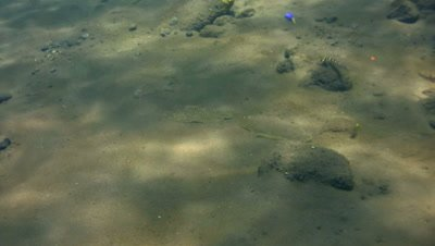 Peacock sole (Pardachirus pavoninus) following each other and hiding in the sand