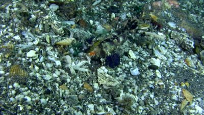 Orange and black dragonet (Dactylopus kuiteri)