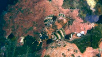 Twinspot or Ocellated lionfish (Dendrochirus biocellatus)