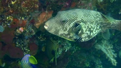 Map pufferfish (Arothron mappa)
